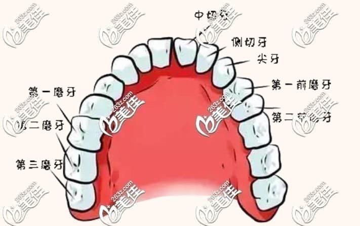 牙齿详解图